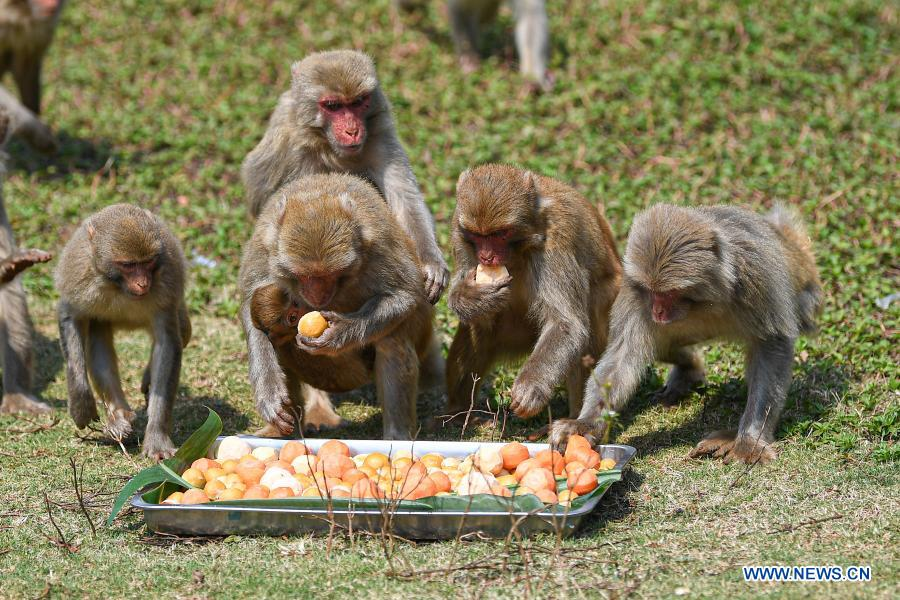 Macaques enjoy food shaped like tangyuan, a kind of round and sweet dumpling made of glutinous rice flour, at the Hainan Tropical Wildlife Park and Botanical Garden in Haikou, south China's Hainan Province, Feb. 25, 2021. Most Chinese usually eat tangyuan on the Lantern Festival. The word tangyuan is nearly the same as tuanyuan, which means reunion in Chinese, making the food a symbol of families coming together. (Xinhua/Pu Xiaoxu)