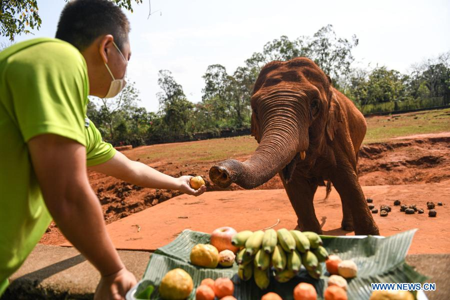 A staff member feeds an elephant with food shaped like tangyuan, a kind of round and sweet dumpling made of glutinous rice flour, at the Hainan Tropical Wildlife Park and Botanical Garden in Haikou, south China's Hainan Province, Feb. 25, 2021. Most Chinese usually eat tangyuan on the Lantern Festival. The word tangyuan is nearly the same as tuanyuan, which means reunion in Chinese, making the food a symbol of families coming together. (Xinhua/Pu Xiaoxu)