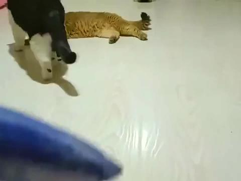 哈里哈气的猫非礼金渐层,一条鱼成了导火索!