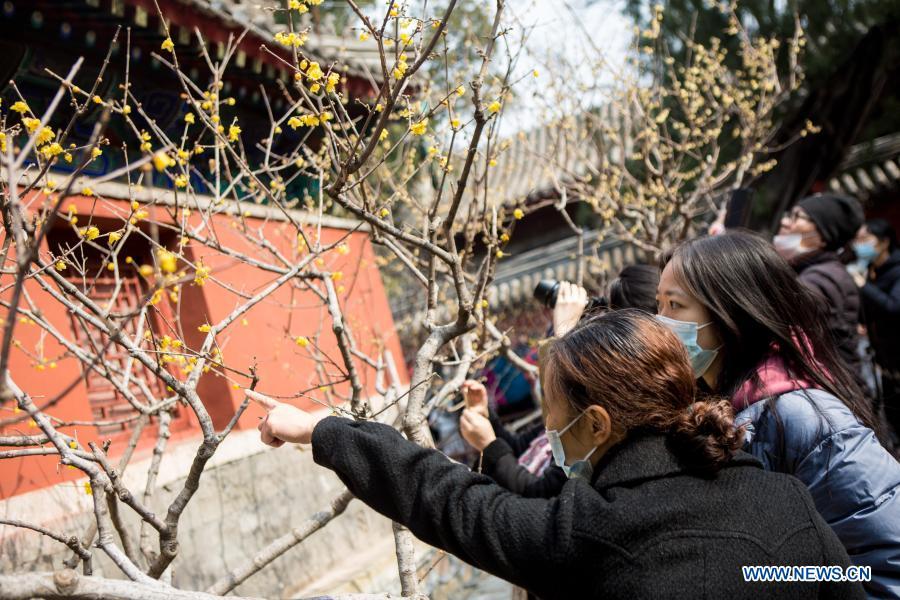 Visitors watch wintersweet at Wofo Temple in Beijing, Capital of China, Feb. 27, 2021. (Xinhua/Li Jing)