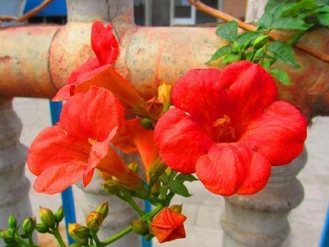 这种鲜艳漂亮的花朵,一小段枝条就能成活,爬藤快开花多
