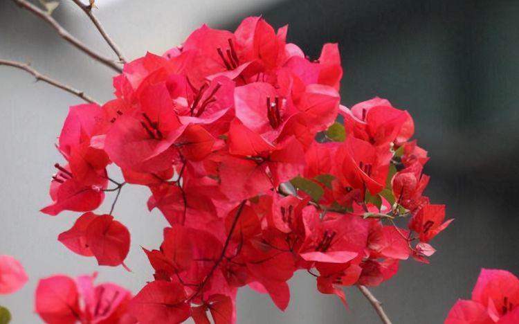 真正漂亮的三角梅开花,是没有叶子开满花,掌握好技巧,你也可以