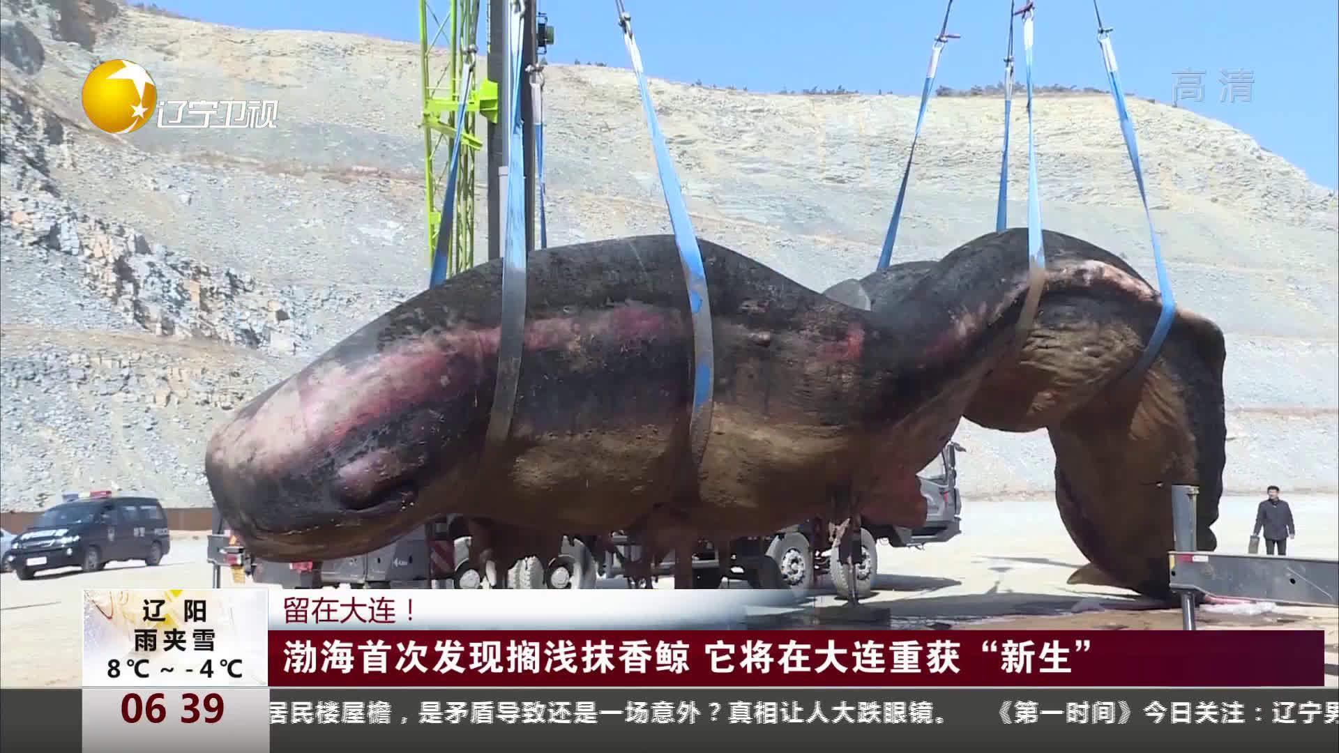 """大连渤海海域现18米搁浅抹香鲸    它将在大连重获""""新生""""!"""