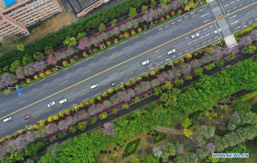 Aerial photo taken on Feb. 28, 2021 shows cars running past Bauhinia blossoms along Xueyuan road in Liuzhou City, south China's Guangxi Zhuang Autonomous Region. (Xinhua/Huang Xiaobang)