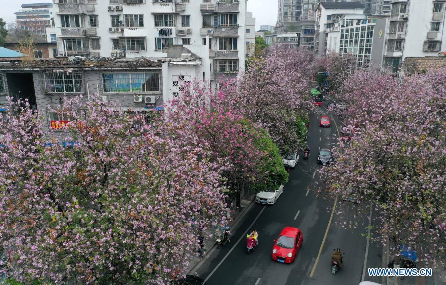 Aerial photo taken on Feb. 28, 2021 shows cars running past Bauhinia blossoms along Wantang road in Liuzhou City, south China's Guangxi Zhuang Autonomous Region. (Xinhua/Huang Xiaobang)