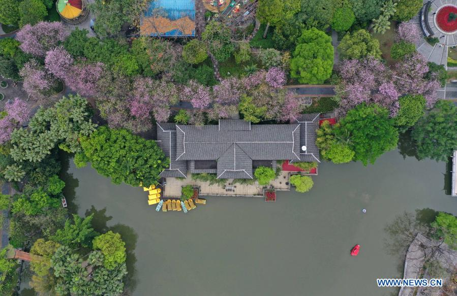 Aerial photo taken on Feb. 28, 2021 shows Bauhinia flowers blooming at Liuhou Park in Liuzhou City, south China's Guangxi Zhuang Autonomous Region. (Xinhua/Huang Xiaobang)
