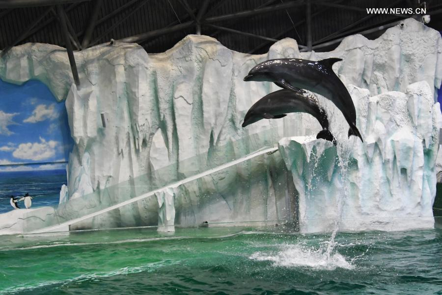 Dolphins adapt to the new environment in the performance pool after they are transferred to the Harbin Polarland in Harbin, northeast China's Heilongjiang Province, Feb. 27, 2021. (Photo by Zhang Tao/Xinhua)