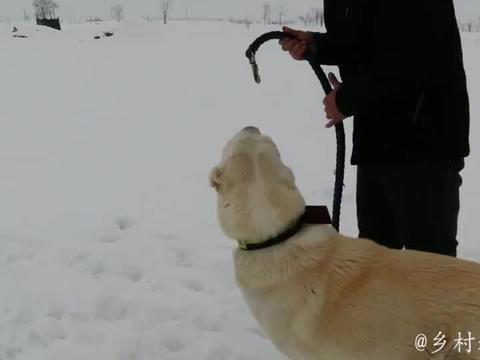 河北下暴雪了,狗子们在田野里自由奔跑,竟把主人冻得直哆嗦