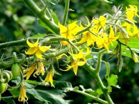 开花坐果期遇寒流,用什么能修复花朵,保障开花坐果好?