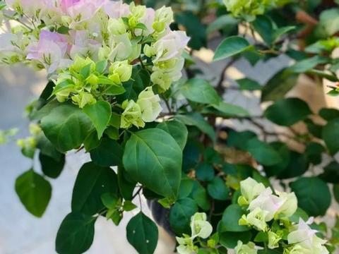 盆栽叶子花,想要植株夏秋开花不断,打理期间要管好4件事