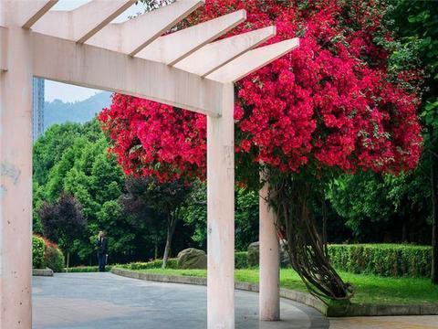 一种很好养的爬藤花,新手也能养出花墙的效果!