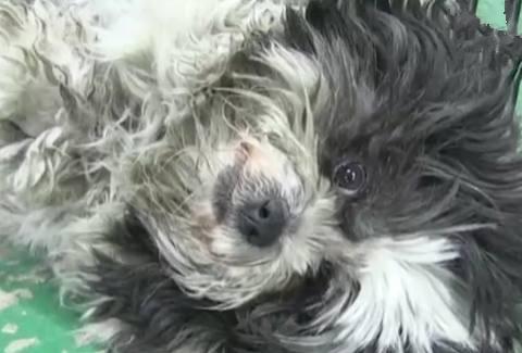 一只凭本事把自己养胖的狗,每天光顾7家店,真相让网友泪目