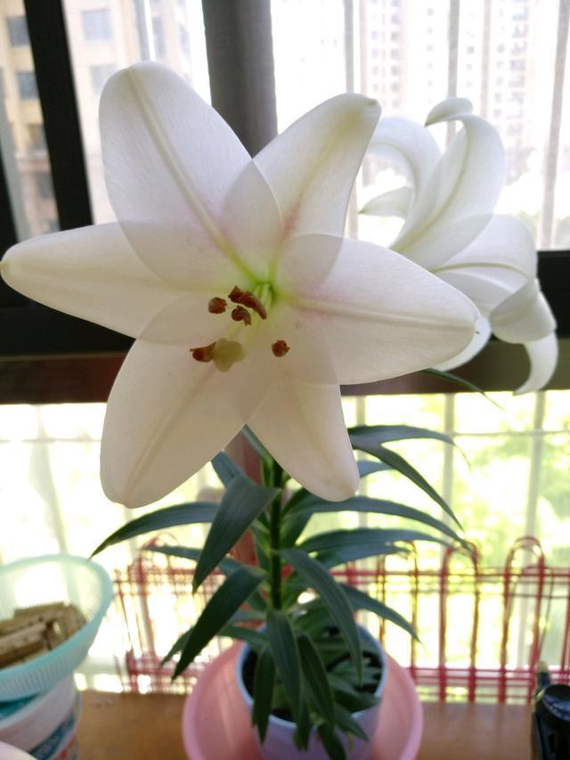 这4种花再喜欢也不能搬进卧室,花香太重影响睡眠!