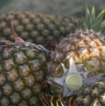 岛内菠萝闹剧延烧  检疫问题为何被民进党当局炒成政治问题?