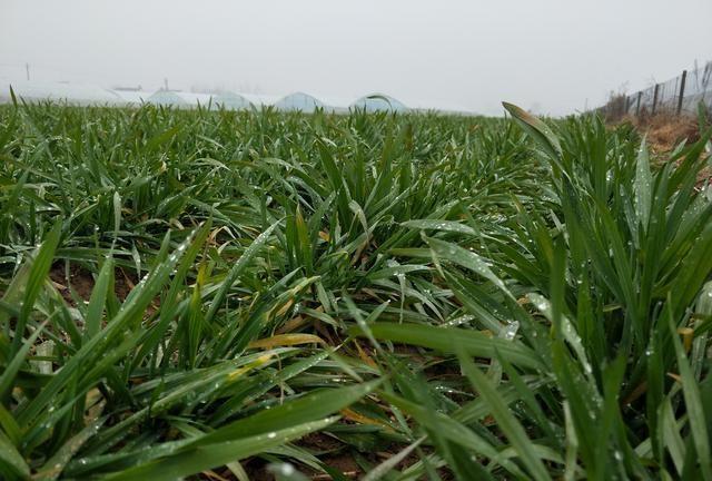 雨雪又来了,小麦返青如何管理?方法用错了,病害增多产量低