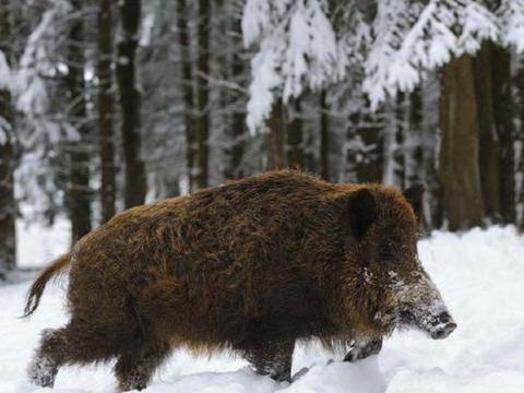 """雪地上出现一条""""路"""",以为是野猪出没,走近一看却被吓得跳起来"""