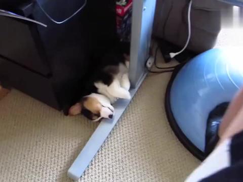 柯基小奶狗的各种睡姿,萌死人了