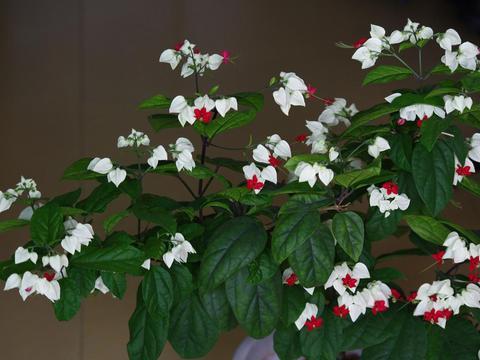 开花的室内爬藤植株,南北方一样养!