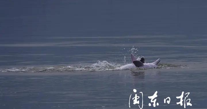 中华白海豚在霞浦海域跳跃翻滚