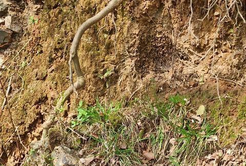 湖南永州农村田里有许多奇怪的小蛇,走近一看原来是树根