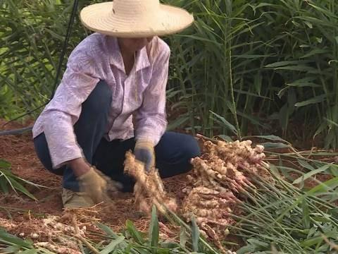新密:发展生姜特色产业 助力农民致富增收