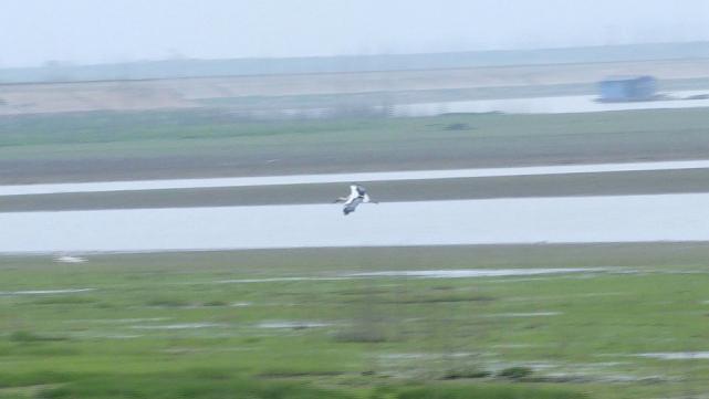 阳新网湖湿地:两只获救的东方白鹳,放归大自然
