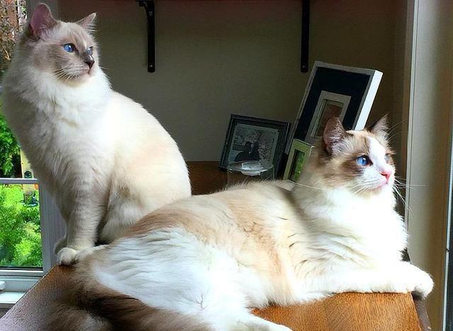 """真想养只""""布偶猫"""",其它猫咪跟它比不得,因为它有这些性格优点"""