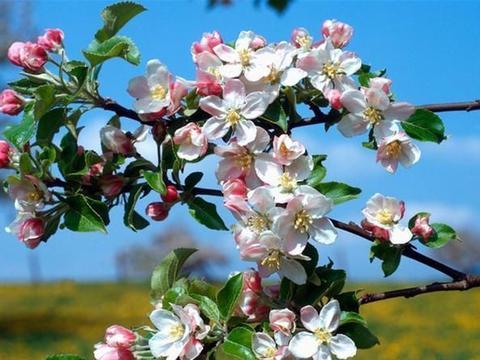 红富士苹果怎样增色才能更甜 红富士苹果苗价格
