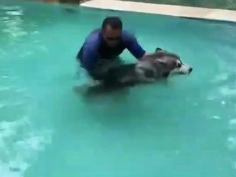 阿拉斯加第一次来到游泳池,怂了拼命挣扎不想下水