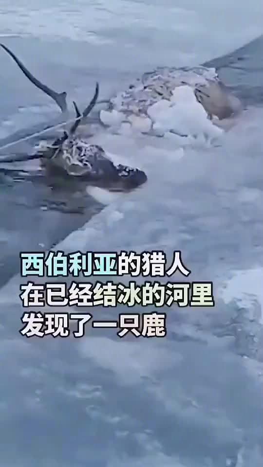 差点儿冻死在河里的赤鹿,遇到好心人改变了命运……