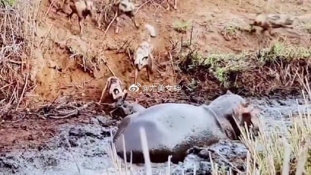 一只小鹿闯入了河马的领地,一群热心的野狗过来帮助小鹿离开