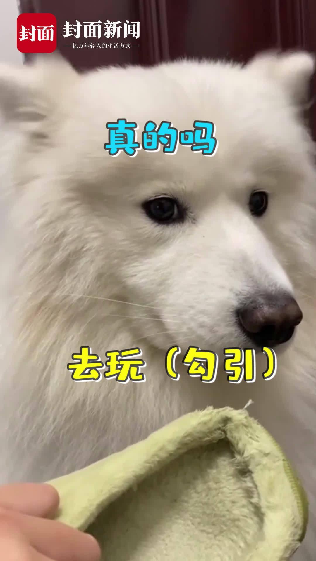 """选择性听话?狗狗做错事闭上耳朵不承认 一说""""出去玩""""马上竖起耳朵"""