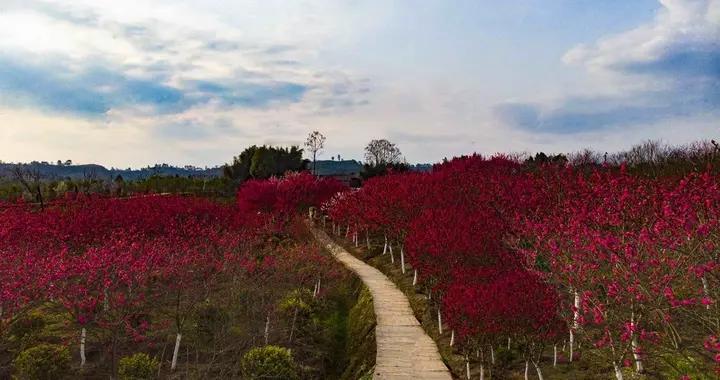 大片大片的桃花开了,广安这个网红打卡地四季可赏花