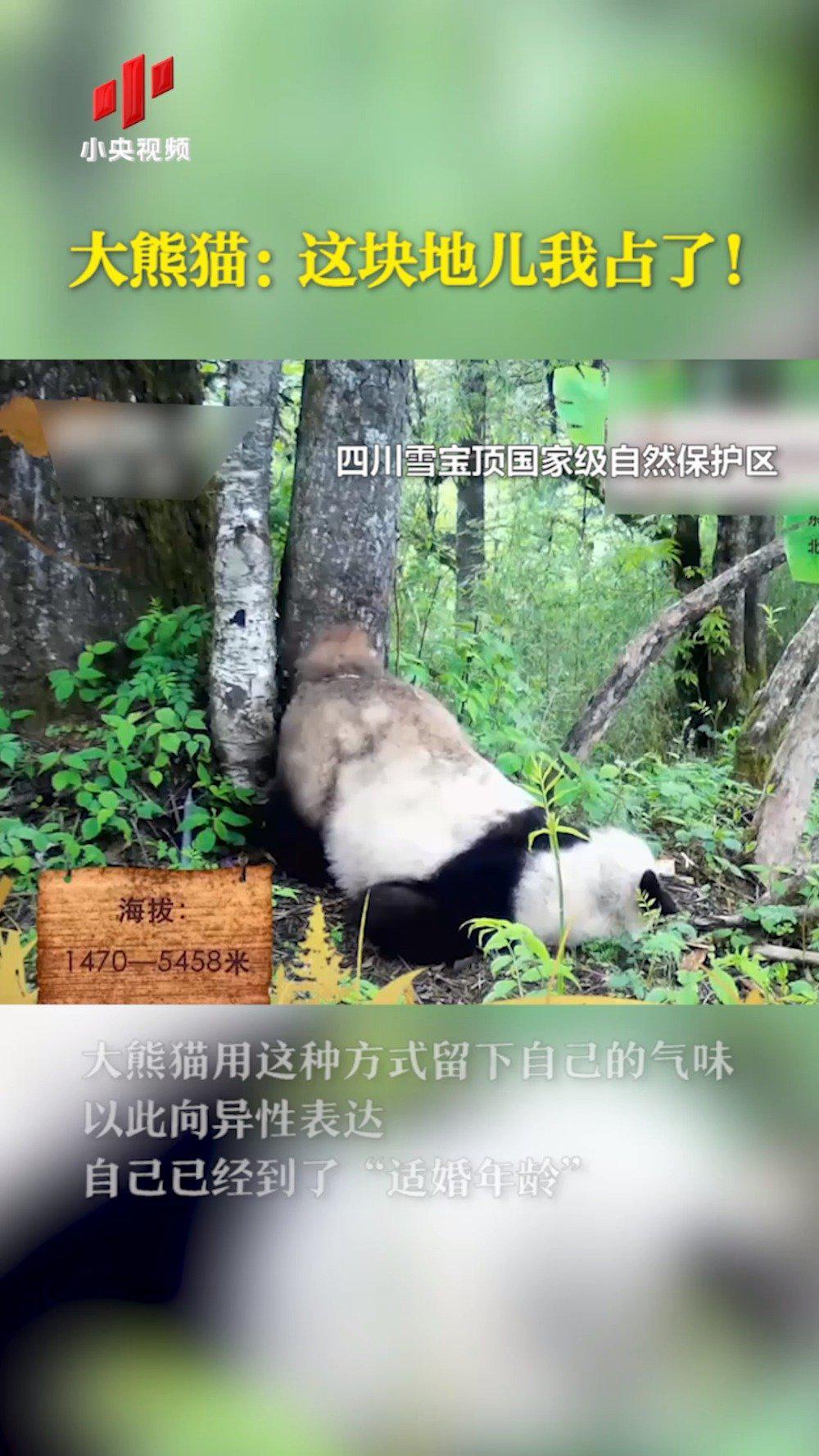 大熊猫:这块地儿我占了!