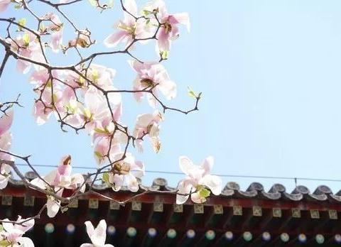 春季北京到哪儿可以观赏玉兰花?您就去这几个地方