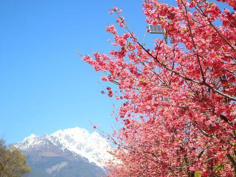 春季来临,丽江赏樱攻略,看雪山樱花再也不用去日本了