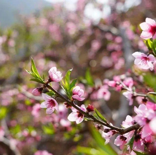 春天,邀你到鸡足山看桃花!