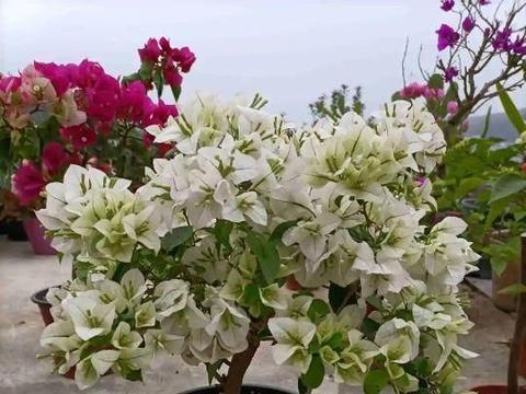 三角梅过冬,除了防寒保暖,还要注意3点,来年分枝多,花繁叶茂