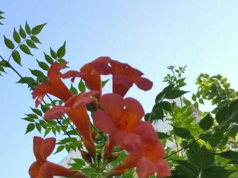 美过蔷薇、丑过杂草的凌霄花,修剪一下,变得更美