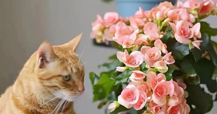 春天养丽格海棠,避开这4点,才能越养越旺,花繁叶茂、长势好