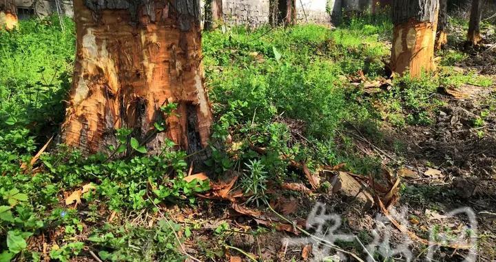 10棵树被人根部剥皮 淮南洞山宾馆院内水杉树招惹了谁?