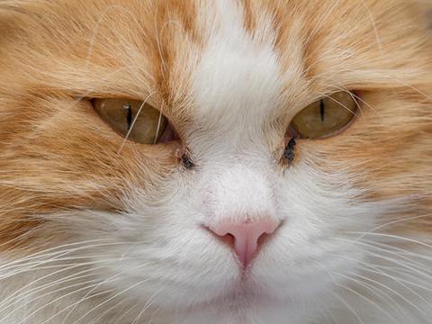 猫咪眼屎增多,是上火了吗?