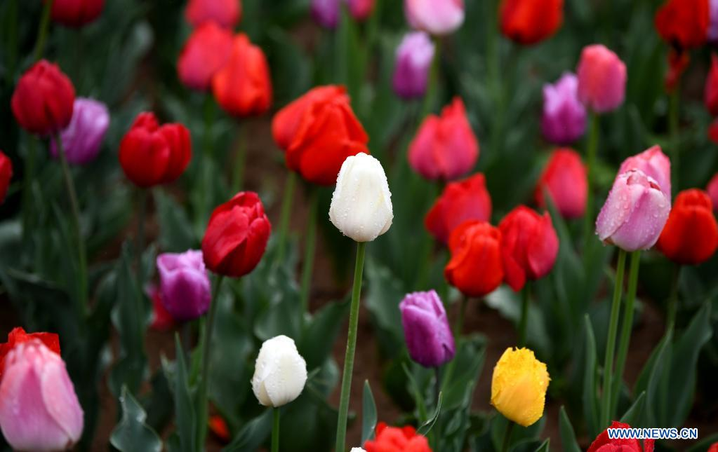 Photo taken on April 1, 2021 shows tulips at Xi'an Botanical Garden in Xi'an, northwest China's Shaanxi Province. The 29th spring flower show kicked off recently at Xi'an Botanical Garden. There are more than 30 kinds of tulips planted in the flower show with a total of 200,000 tulips planted in 3,000 square meters. (Xinhua/Li Yibo)
