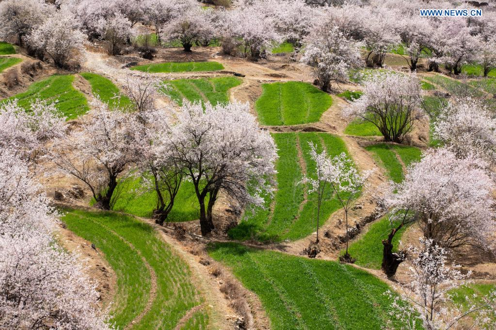 Photo taken on April 3, 2021 shows the scenery of Ridang Village of Baisong Town in Derong County, southwest China's Sichuan Province. Peach blossoms are in full bloom in Derong County. In recent years, the local government has taken advantage of the natural resources to develop rural tourism and helped increase villagers' income. (Xinhua/Jiang Hongjing)