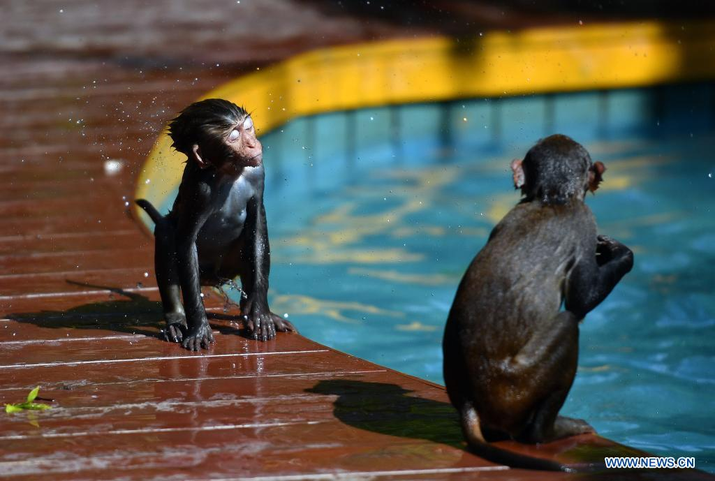 A macaque shakes water off at Nanwan Monkey Islet in Lingshui County, south China's Hainan Province, April 4, 2021. Nanwan Monkey Islet is a nature reserve with over 2500 macaques living here. (Xinhua/Guo Cheng)
