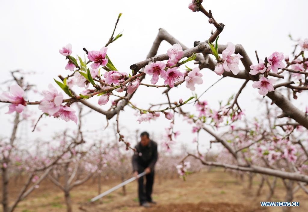 A farmer weeds in a peach orchard in Hekou Town of Shunping County, north China's Hebei Province, April 5, 2021. As the temperature gradually rises around the time of Qingming Festival, farming activities are in full swing across the country, from the north to the south. (Xinhua/Yang Shiyao)