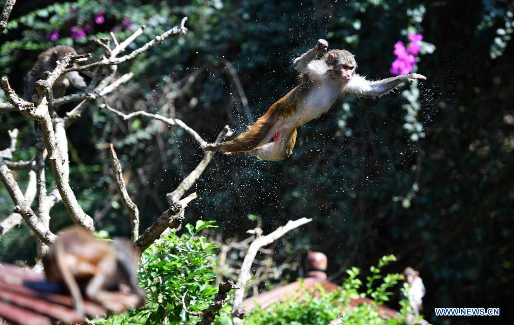 A macaque jumps into water at Nanwan Monkey Islet in Lingshui County, south China's Hainan Province, April 4, 2021. Nanwan Monkey Islet is a nature reserve with over 2500 macaques living here. (Xinhua/Guo Cheng)