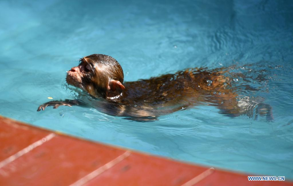 A macaque swims at Nanwan Monkey Islet in Lingshui County, south China's Hainan Province, April 4, 2021. Nanwan Monkey Islet is a nature reserve with over 2500 macaques living here. (Xinhua/Guo Cheng)