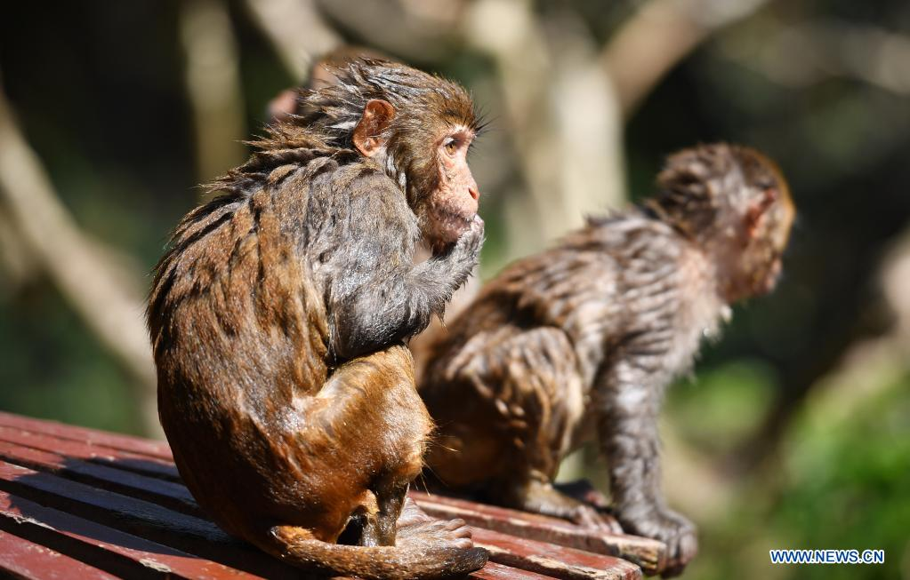 Macaques rest at Nanwan Monkey Islet in Lingshui County, south China's Hainan Province, April 4, 2021. Nanwan Monkey Islet is a nature reserve with over 2500 macaques living here. (Xinhua/Guo Cheng)