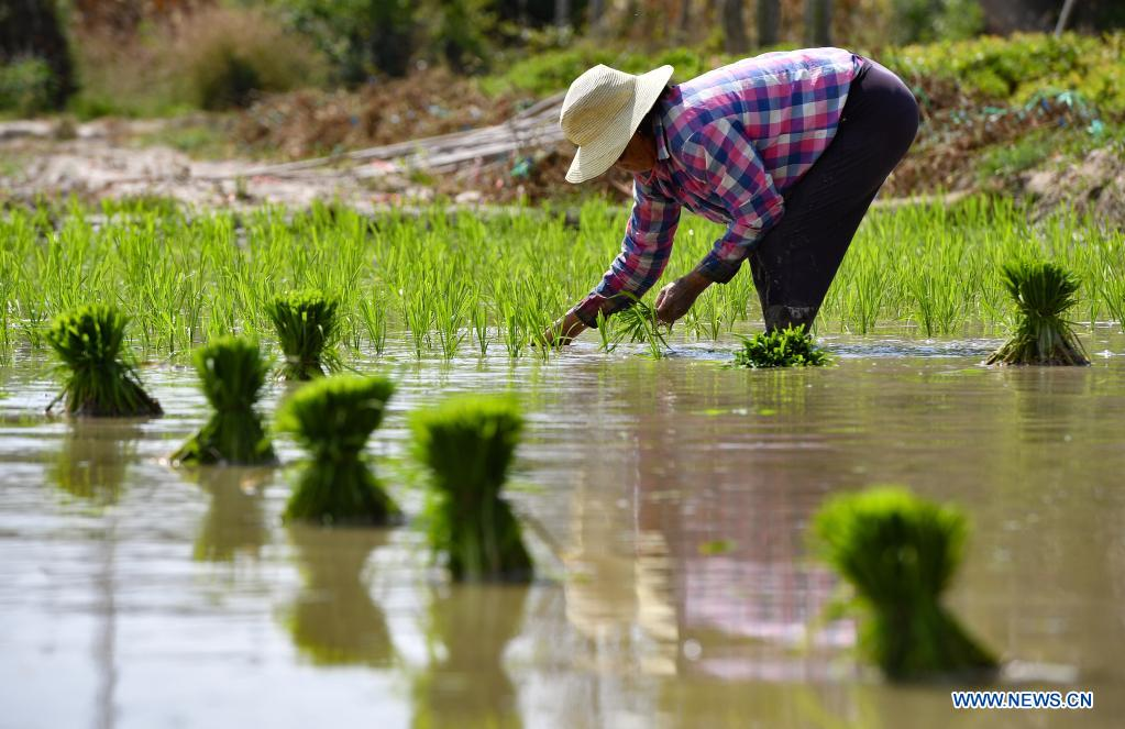 A farmer transplants rice seedlings in a field in Guangpo Town, Lingshui Li Autonomous County, south China's Hainan Province, April 5, 2021. As the temperature gradually rises around the time of Qingming Festival, farming activities are in full swing across the country, from the north to the south. (Xinhua/Guo Cheng)